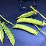 piselli verdi proprietà benefici e usi